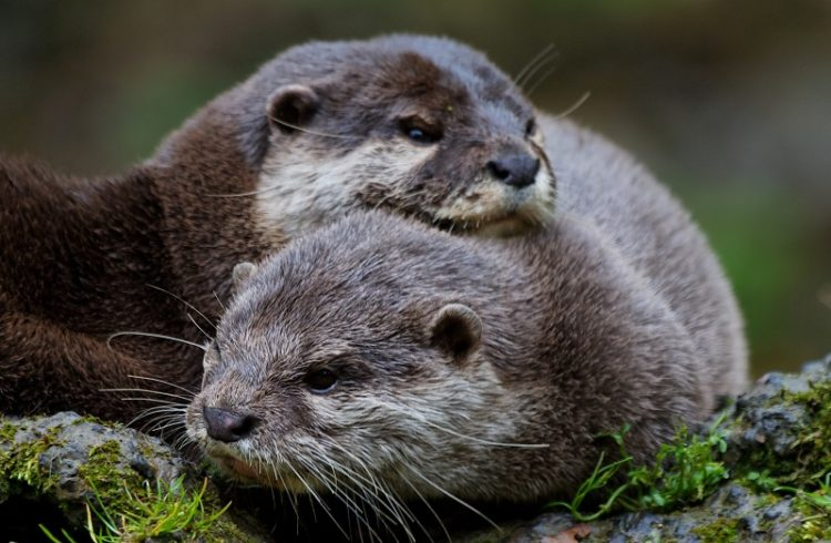 loutre-5626-dany